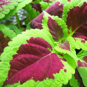 Forskolin: Useful for Biochemical Research and Weight Loss